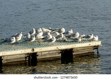 bunch of gulls resting in sunlight on Verbano lake floating wharf, shot in bright winter light at Angera, Verbano, Varese, Lombardy, Italy