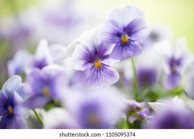 Bunch of homegrown pansies in blue