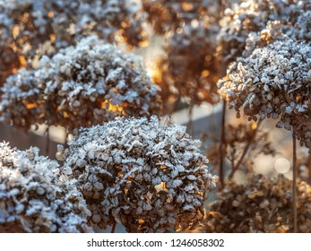 Bunch of hortensia flowers covered with morning frost