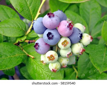 bunch of huckleberries ripening on the bush