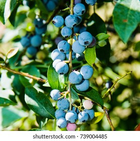 Bunch of juicy ripe Texas blueberries hanging from an orchard vine in the morning.