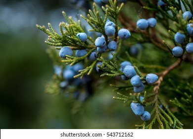 Bunch of juniper berries on a green branch in autumn