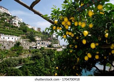 bunch of lemons, Amalfi, southern Italy