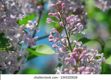 Bunch of lilac blossom with saturated green and blue background. Scented purple flowers close-up in spring garden.