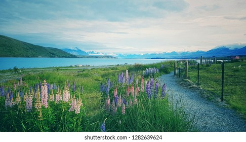 A bunch of lupine flowers in a summer meadow with sky and sea background. Lupine have is the colors are almost all colors including botanical beauty. This photo was taken in South Island, New Zealand.