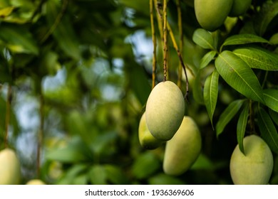 A bunch of mango with blur leaf background.Young mango.