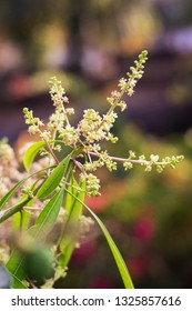 A bunch of mango tree flower buds and green leaves