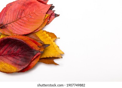 A bunch of maple leaves on a white background