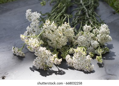bunch of milfoil on slate background