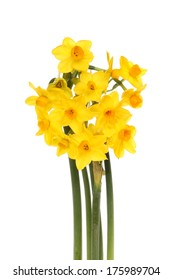 Bunch of miniature daffodils isolated against white