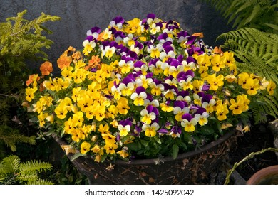 Bunch of miniature pansies in pot. Colorful blooming flowers composition. Backyard garden. Violas flower mixed. Viola Sorbet