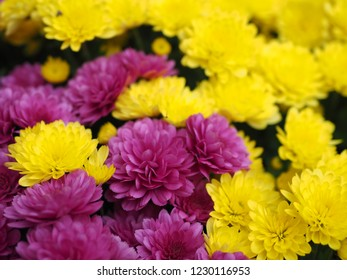 Bunch of mixed yellow and purple chrysanthemum flowers