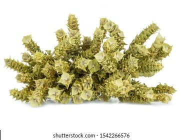 Bunch of mountain tea Malotira isolated on white. Greek traditional herbal tea. Greek mountain tea sideritis. Natural Greek herbs.