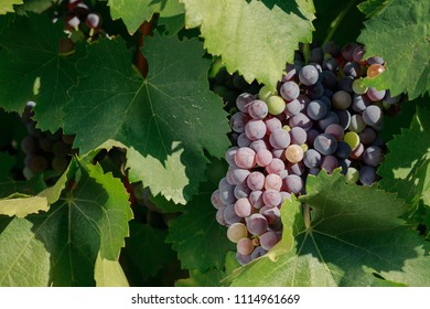 Bunch of multi-colored red grapes ripening on summer vine, close-up.