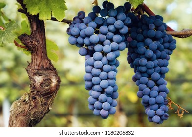 bunch of nebbiolo grape in the vineyards of Barolo (Langhe wine district, Italy), in september before harvest