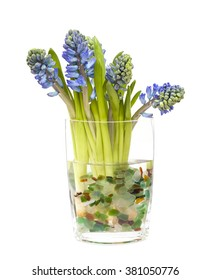 bunch of opening blue hyacinths in a vase with sea glass, isolated on white background