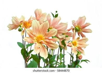 Bunch of orange dahlia flowers on white isolating background