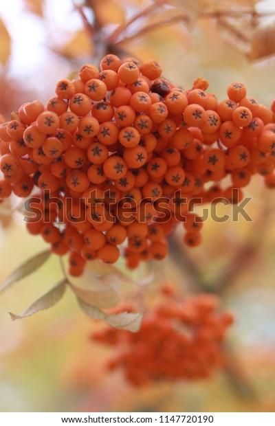 Bunch of orange rowanberry. Autumn concept. Fall season, berries, mountain ash. Closeup, blurred background
