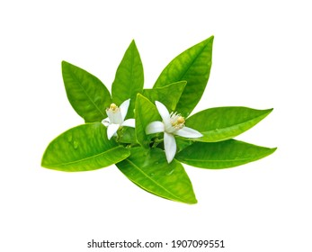 Bunch of orange tree white fragrant flowers and lush green leaves isolated on white. Neroli blossom.