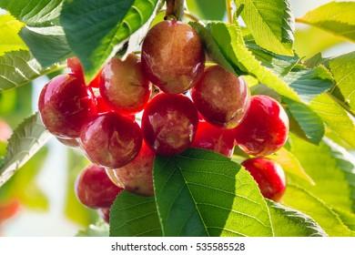 bunch of organic red cherries ripening on cherry tree