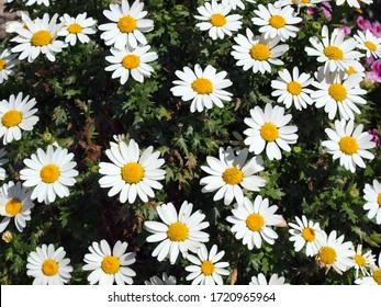 Bunch of Oxeye daisy flowers in field.