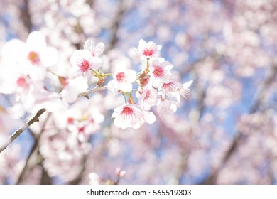 A bunch of pale pink wild Himalayan cherry blossoms (Prunus cerasoides) dangling from their branches in Japanese style soft tone (soft focus)