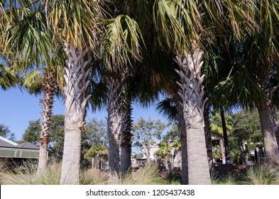 Bunch of Palmetto trees in a grove in coastal Beaufort South Carolina on a sunny day