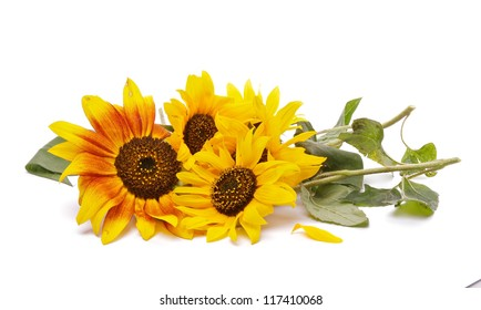 Bunch of Perfect Sunflowers isolated on white background