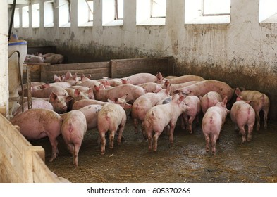 Bunch of pigs in stable