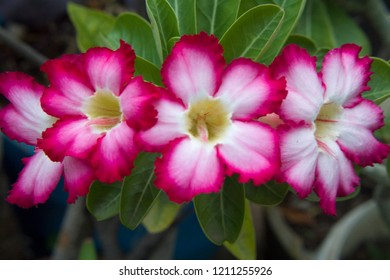 Bunch of Pink Color Desert Rose Flowers or Pink Color Adenium Flowers