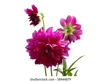 Bunch of pink dahlia flowers on white isolating background