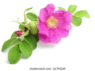 Bunch of pink dog rose isolated over pure white background. Flower in the corner of image.
