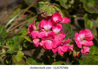 A bunch of pink Geranium flowers surrounded by green foliage