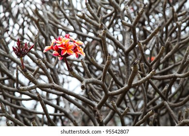 bunch of pink plumeria flowers on tree without leaf, DOF