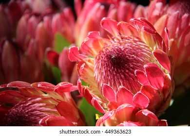 bunch of pink proteas