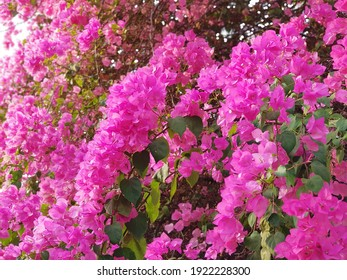 Bunch of pink purple bougainvillea (paper flowers) with green leaves blooming on tree branches on sunshine day.