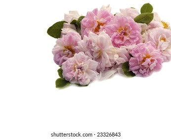 bunch of pink roses with copyspace on white background