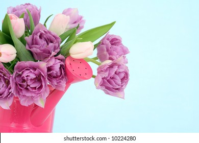 bunch of pink tulips isolated on blue background