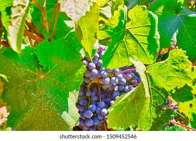 Bunch of Pinot noir grapes in a vineyard. A red wine grape variety of the species Vitis vinifera.
