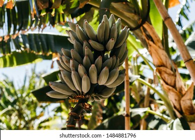 Bunch of plantain on Musa tree in soft sunlight. Musa is one of two or three genera in the family Musaceae; it includes bananas and plantains.