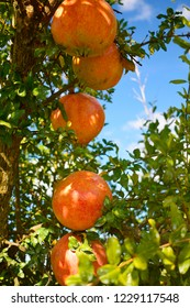 Bunch of pomegranates on the branches of the pomegranate tree. Fruit of autumn season. Organic garden cultivation.