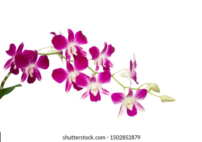 A bunch of pretty pink petals of Dendrobium orchid blooming isolated, die cut on white background with clipping path