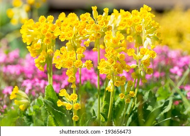 Bunch of Primula veris in garden in sunlight during early summer, Sweden