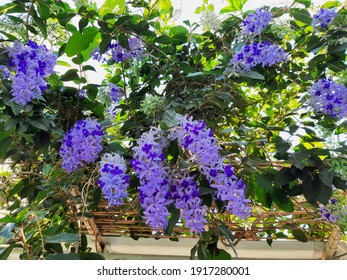 Bunch of Purple blossom flower of Sandpaper vine, Queens Wreath, Petrea volubilis L. on tree in garden