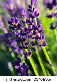 Bunch of purple lavender stems with green foliage and blurred background