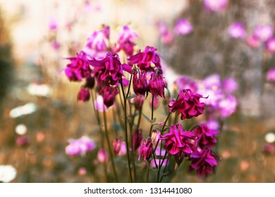 Bunch of purple and pink blossoming columbine (Aquilegia) flowers in garden with nice blurry background.