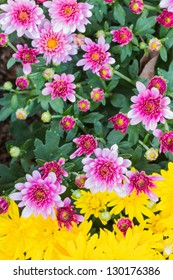 Bunch of purple and yellow Chrysanthemums blossoms