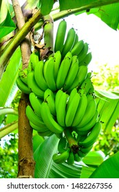 Bunch of Raw banana tree in the orchard .Bunch fresh raw green comb is hung on a tree.Unripe bananas in the jungle close up.