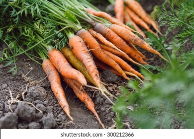 Bunch of raw organic carrots with tops lying on the soil, on a vegetable garden background, close up