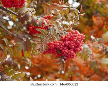 bunch of red ashberry on a tree. Indian summer season